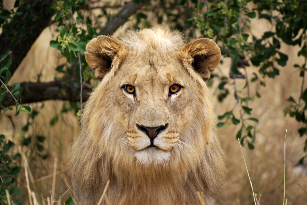 A young male lion